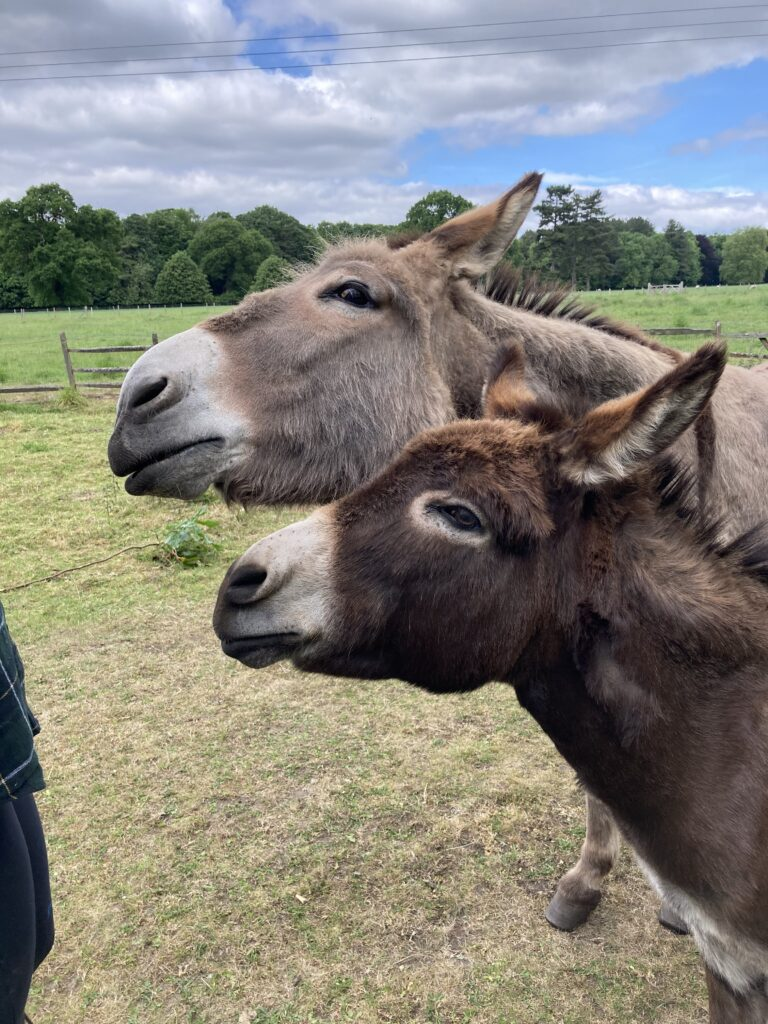 Molly and Danny the donkeys wanting treats
