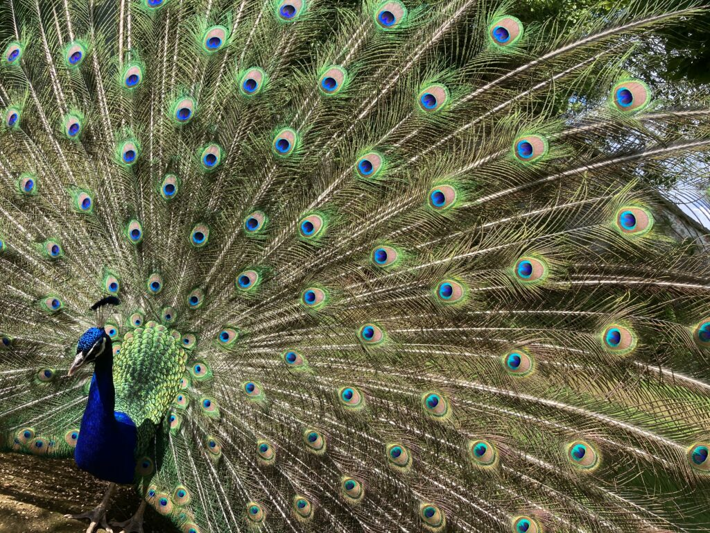 One of our peacocks displaying his tail feathers