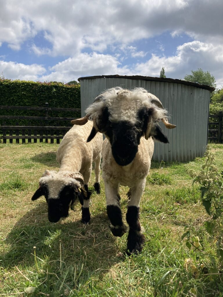 Our two new sheep
