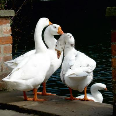Elsham Hall geese