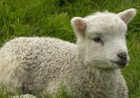 A lamb looking so cute