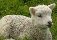 A lamb looking so cute