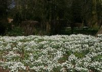 Snowdrops by Michael Rusling