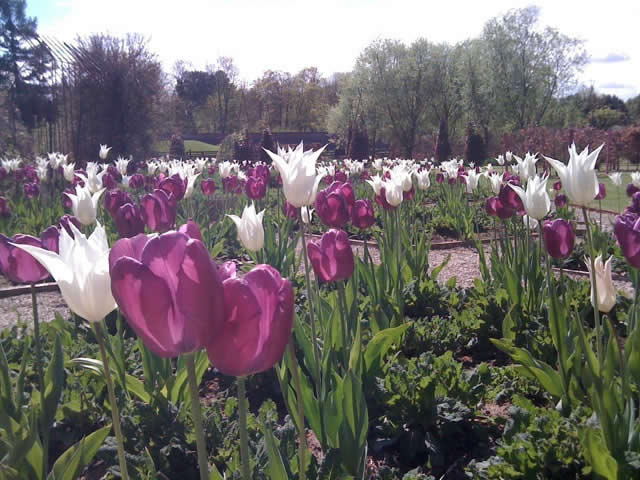 Tulips in formal garden